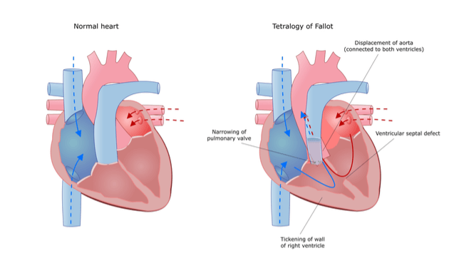 How-does-heart-function