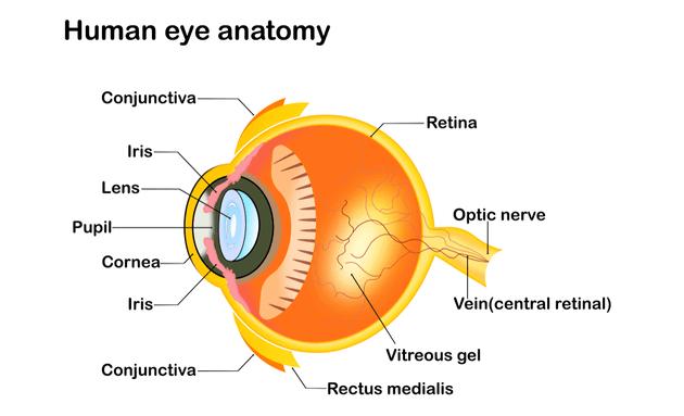Anatomy-of-the-human-eye
